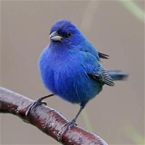 17 best images about indiana birds on pinterest indigo
