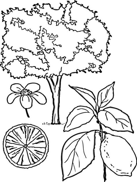 lemon tree coloring page lemon coloring pages download and print lemon coloring pages