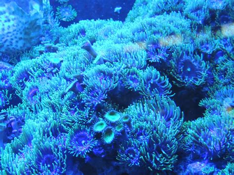 Coral Blue free images water underwater blue coral reef