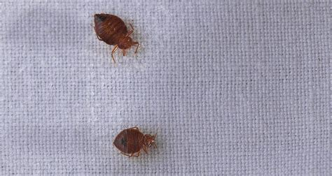how big do bed bugs get can your dog get bed bugs cesar s way