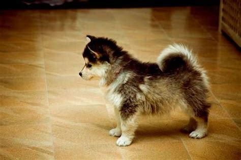 how big does a pomeranian get things to keep in mind about the pomsky alaskan klee 101 breed information guide