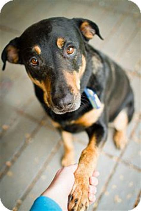 rottweiler doberman pinscher mix destiny adopted winston salem nc rottweiler doberman pinscher mix