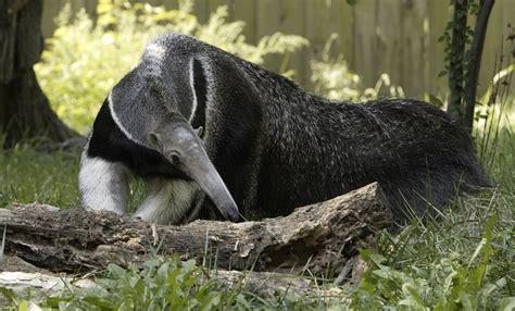 giant anteater smithsonians national zoo