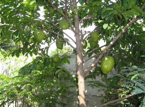 Buah Sirsak Ratu Unggul Okulasi 1 Bibit pohon sirsak ratu jualbenihmurah