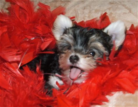 teacup yorkie illinois teacup yorkie puppies for sale in southern illinois forex error 4109