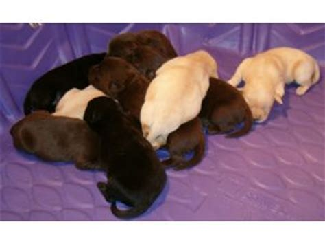lab puppies for sale louisiana labrador retriever puppies for sale rochester ny rachael edwards