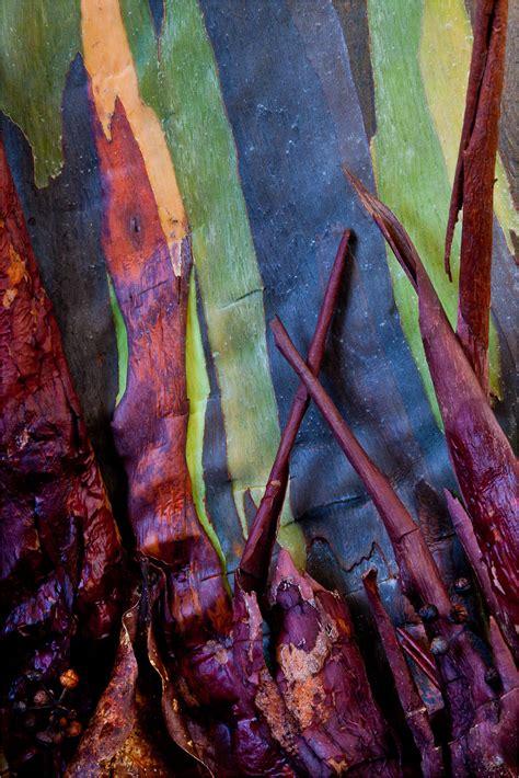 rainbow eucalyptus 1000 images about rainbow eucalyptus deglupta on
