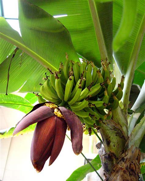 banana tree fruit banana tree with flower and fruit pics4learning