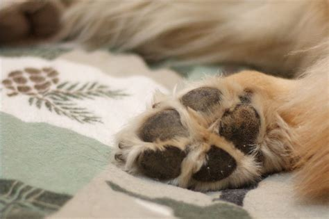 ripped paw pad how to care for a s torn paw pad cuteness