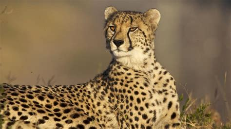 what color is a cheetah the meaning and symbolism of the word 171 cheetah 187