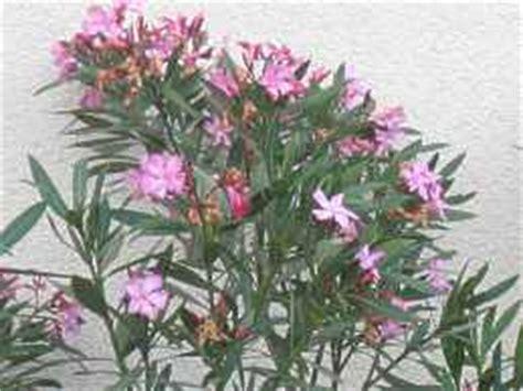 oleander standort garten oleander nerium oleander 220 berwinterung schneiden pflege