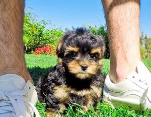 yorkie buy yorkie poo puppies for sale in california yorkie poo pups for sale teacup yorkie poo