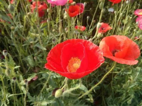 poppy bunga bunga poppy yang cantik picture of sangdong lake park