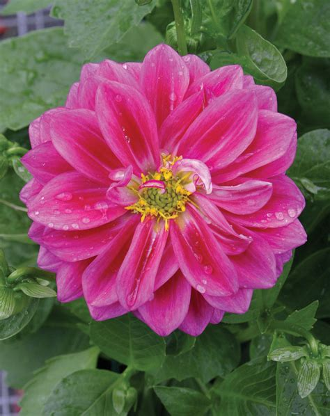 the questionable behavior of dahlia moss a dahlia moss mystery books dalina 174 midi fiji dahlia hybrid proven winners