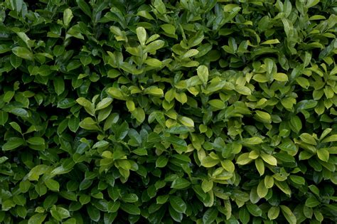 plant hedge bush leaf leaves texture gimp textures pinterest game maps and texture