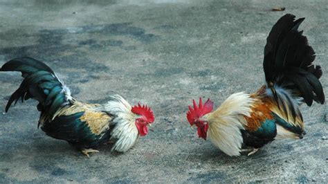 peleas de gallos en matehuala 2016 c 243 mo instalar un criadero de gallos de pelea o gallo de ri 241 a