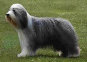 bearded collie pictures wallpapers9