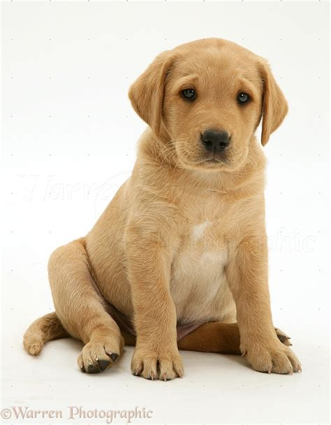 puppy puppy yellow labrador pup sitting photo wp13525