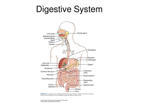 anatomy coloring book digestive system label digestive system worksheet coloring europe