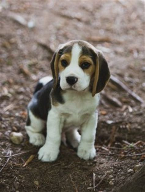 beagle puppies seattle kazuri beagles and cavalier king charles dogs page 2