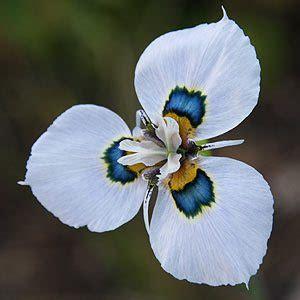 moraea plants bulbs  species nurseries