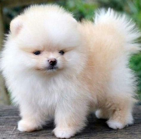 do teacup pomeranians shed a lot 129 best images about pets on chow chow pomeranian puppy and pom poms