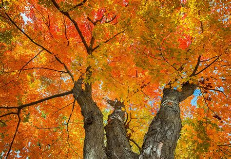how sugar maple trees work massachusetts maple producers association massachusetts maple