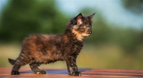 calico color are all calico cats the gender and color link in