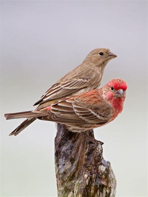 house finch male and female house finch
