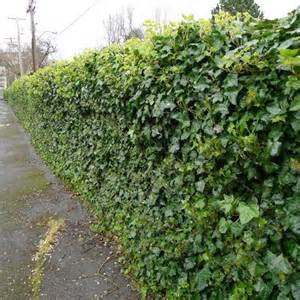 Bougainvillea Trellis Ideas English Ivy On Chain Link Fence Green Ivy Is