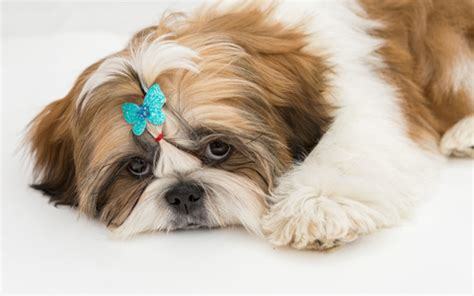 how to groom your shih tzu shih tzu grooming the ultimate guide shihtzu web