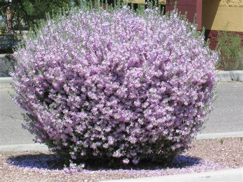 flowering shrubs plant world leucophyllum frutescens