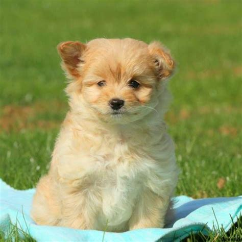 pomapoo puppies pomapoo puppies for sale pomapoo breed profile greenfield puppies