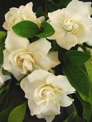 Gardenia Bites 30 Best Images About Growing Gardenia On