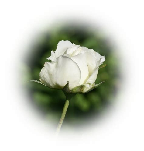 imagenes de rosas blancas para facebook rosa blanca de luto fine dice related keywords fine dice