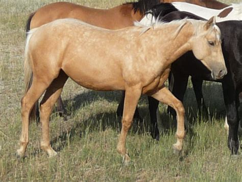 Sale X2 Lena horses for sale www coloredhorseranch