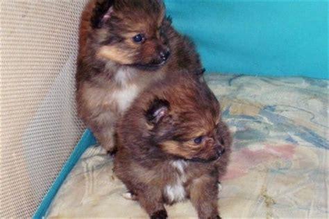 sheltie pomeranian puppies poshie pomeranian x sheltie mix info temperament puppies pictures