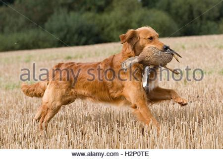 golden retriever retrieving golden retriever retrieving a duck stock photo royalty free image 90867227 alamy