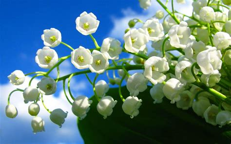 fiori di mughetto fiori di mughetto fiori di piante