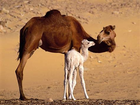 deadly middle east coronavirus    camels