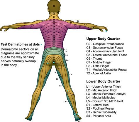 dermatomes map dermatome map my