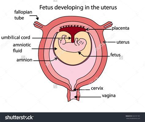 uterus during pregnancy diagram human leg anatomy diagram human leg anatomy and physiology