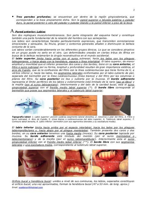 vestibulo oral que es anatomia de la cavidad oral
