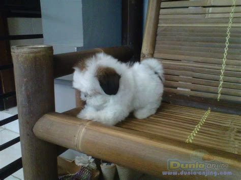 Mini Shih Tzu Istimewa dunia anjing jual anjing shih tzu mini shitzu jantan