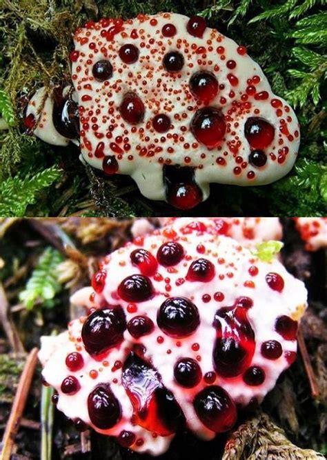 bleeding tooth fungus jeff thompson