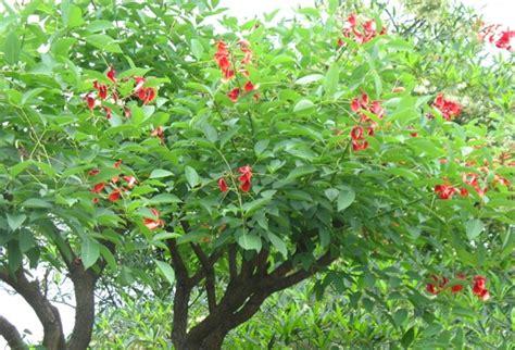 Jual Bibit Cendana Jakarta jual pohon dadap merah di jakarta jual bibit tanaman unggul