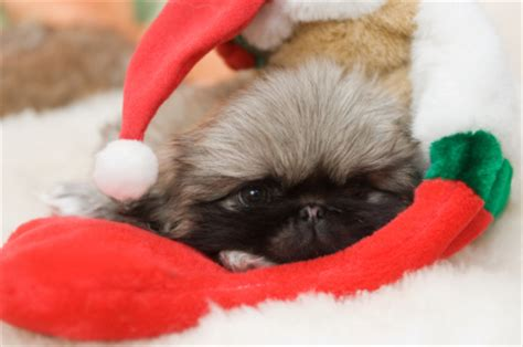 caring for newborn puppies caring for newborn puppies how to deal with your newborn pekingese