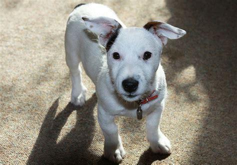 perros peque 209 os razas y fotos