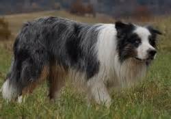 merle color blue merle tri color australian shepherd lying stock