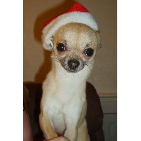 brownhills chihuahua mad chihuahua stud in walsall west